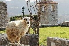 1765-462-Goat